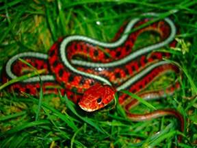 colorful snake 3d thamnophis sirtalis infernalis california si