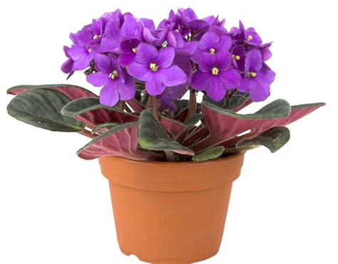 Tanaman Violces Ungu tanaman light purple violet bibitbunga