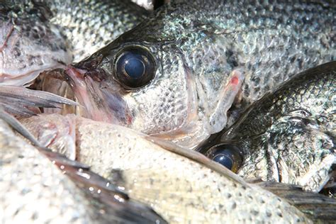 great lakes  tennessee crappie fishing