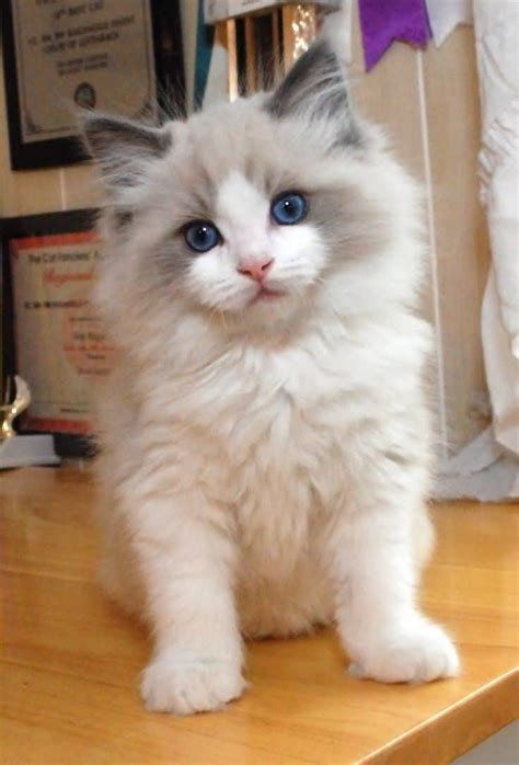 a ragdoll kitten 65 sweet ragdoll cat photos golfian