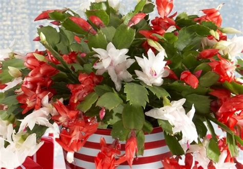 how much darkness do christmas cactus need how to care for a cactus proflowers