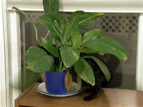 pictures of house plants poisonous to cats poisonous plants for cats