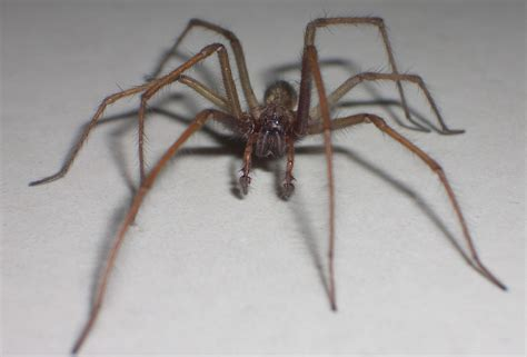 House Spiders by House Spider Survey Launched In The U K