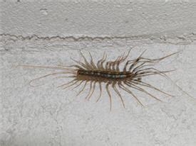 bug with lots of legs in bathroom long grey bug lots legs