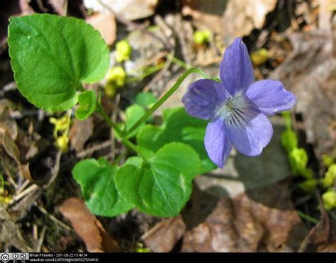 violet puppy common violet whiteknights biodiversity