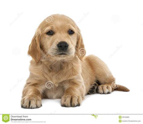 7 week golden retriever puppy golden retriever puppies 7 weeks photo