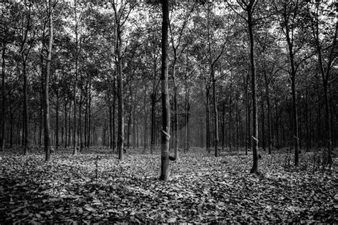 Rubber Black White the rubber tree plantation black and white license for