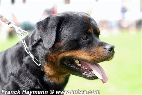 real puppies for free real german rottweiler puppies for sale adoption from circleville new york orange