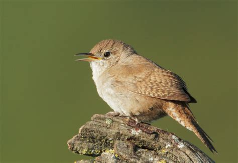 house wren bird housewrenp