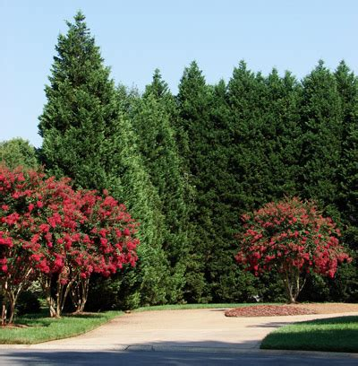is leyland cypress still the tree to plant i think not leyland cypress evergreen trees for sale brighter blooms