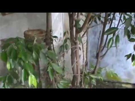 Hipnotis Lovebird By Chan Kicau cililin salah masuk kandang jalak suren lihat yang terjadi