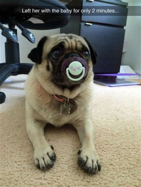 pug jokes pictures baby pug pictures quotes memes jokes