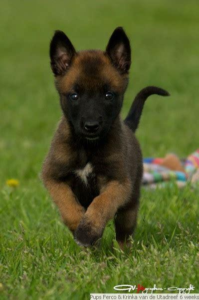 honden te koop te koop mechelse herder puppy s volwassen honden