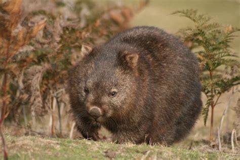 imagenes de animal wombat file common wombat vombatus ursinus tasmaniensis jpg