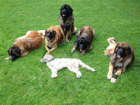 Do Leonbergers Shed by 10 Things Only A Leonberger Owner Would American