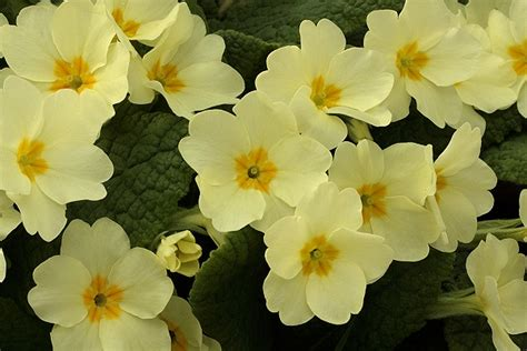 primrose flower pictures beautiful flowers