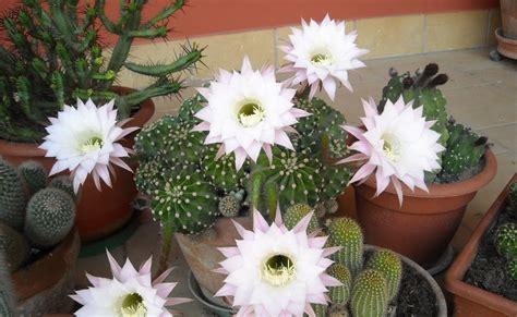 fiori di cactus piante elsa my country lavoretti vari e piante grasse