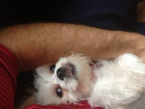 shih tzu bichon teddy quot teddy quot a bichon shih tzu teddy puppies dogs