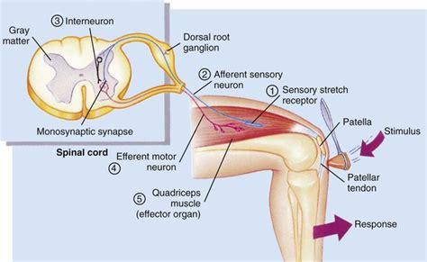 diagram of knee reflex nursing assessment nervous system key