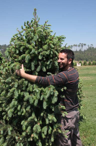 siempre verde empresa que renta 225 rboles de navidad vivos