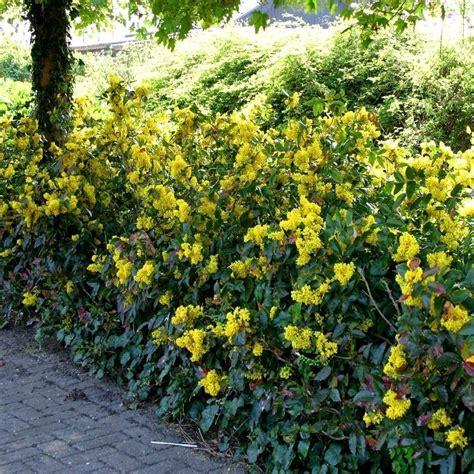 fiori da siepe siepi da giardino sempreverdi siepi siepi giardino