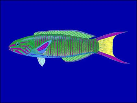 bird wrasse aquatic veterinary services of northern green moon wrasse thalassoma lutescens