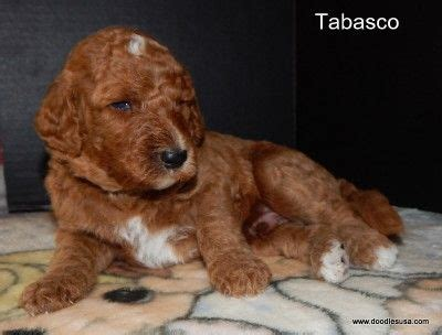 goldendoodle puppy for sale chicago 17 best images about things to look into more when i