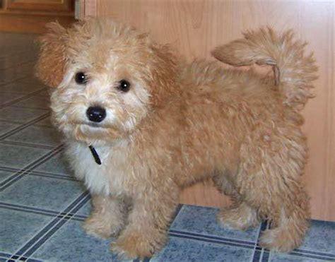 half pomeranian half poodle puppies 25 best ideas about shih tzu poodle mix on shih tzu poodle baby