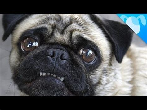 do pugs pop out of their 17 best ideas about pug facts on animals doing things i need a