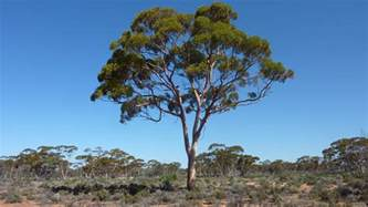 gold grows on gum tree leaves study sbs news