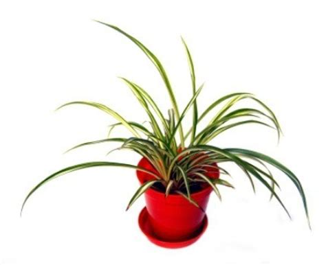 repotting spider plants thriftyfun