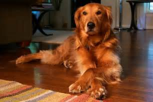 golden retriever colors golden retriever vs labrador retriever difference and