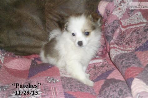 pomchi puppies for sale near me pomchi puppy for sale near huntsville decatur alabama 3dc28044 2a31