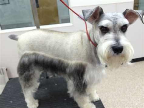 mini schnauzer haircut styles pictures of schnauzers haircuts haircuts models ideas