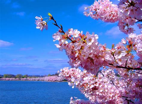 cherry blossoms images lotus flower cherry blossoms