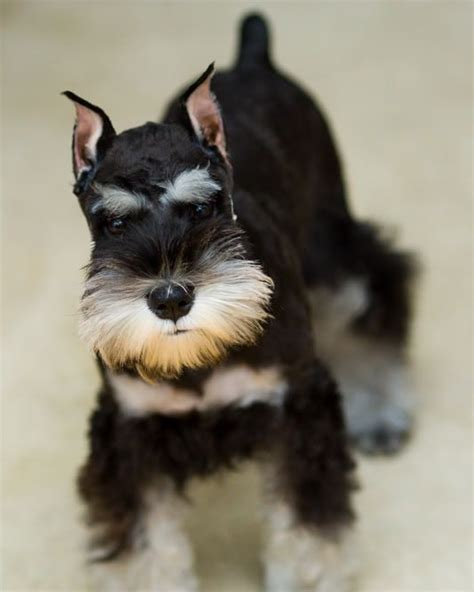 different haircuts for a miniature schnauzer schnauzer haircuts pictures 25 best ideas about giant