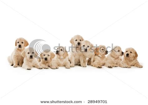 springer spaniel puppies for sale midwest 33714 stock photo of an adorable golden retriever puppy sitting models picture