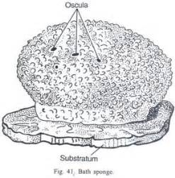euspongia diagram sponge culture and uses of sponge with diagram