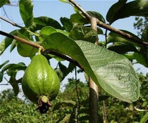 Jeruk Lemon Tanpa Biji 40 60cm tunas nursery jual bibit tanaman buah dalam pot murah dan