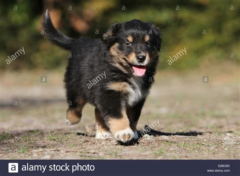 black australian shepherd puppy australian shepherd aussie puppy tricolor black running stock photo royalty