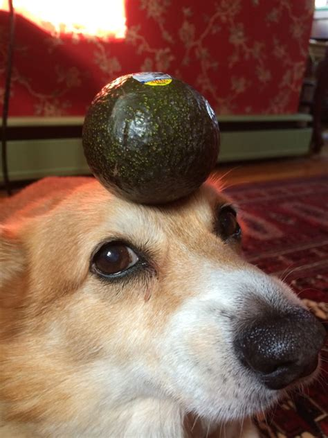 dogs and avocado 7 foods dangerous to dogs