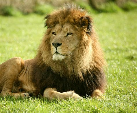 imagenes de animales leon imagen leon 2 png wiki reino animalia fandom powered