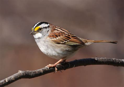 white throated sparrow 187 bird watcher s digest