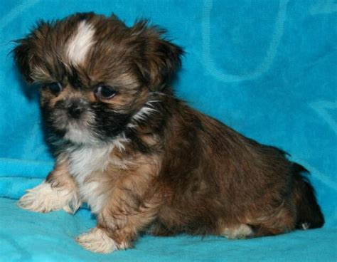 junique shih tzu photo gallery shih tzu puppy breeders shih tzu puppies sale