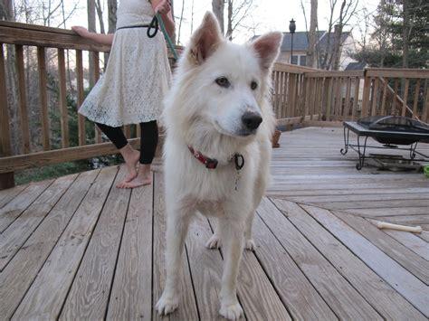 samoyed mix puppies world rescue 187 lidia husky samoyed mix