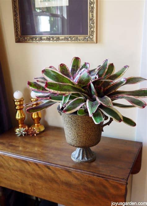bromeliad care   grow  beauty indoors