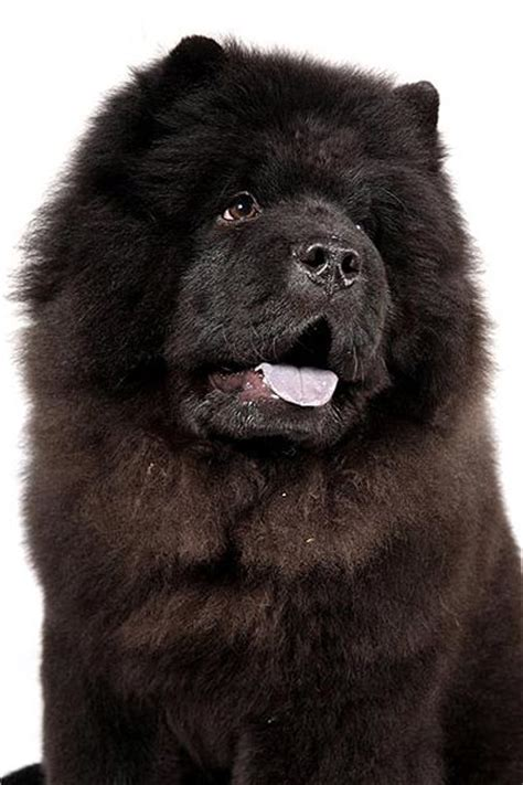 black chow chow puppy 30 most amazing black chow chow pictures and images