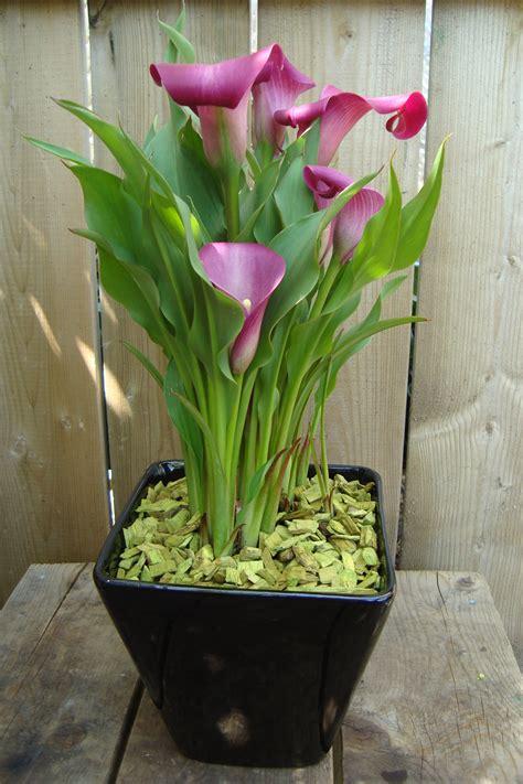 Calla Planter by Calla Plant