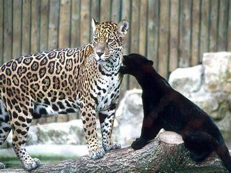 foto giaguari ghepardi leopardi pantere per sfondi pc