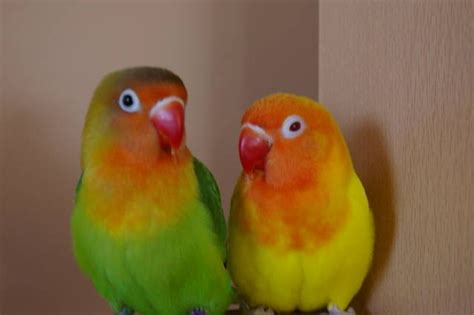 parrots for sale in edmonton